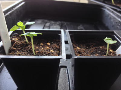 Sweet Genovese basil seedlings with first true leaves.