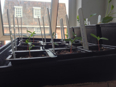 More Petite French Marigold seedlings.