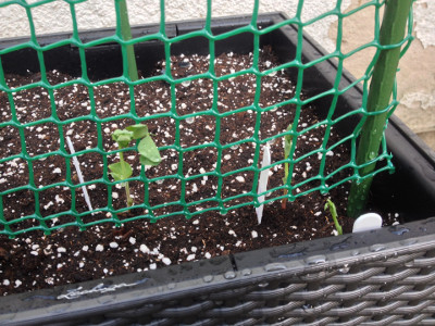 3 Bijou Mangetout seedlings planted outside in container.