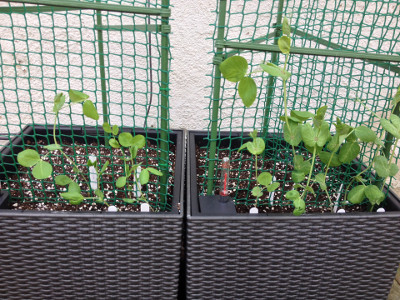 More mangetout transplanted. Golden Sweet (left) and Bijou (right) are growing well.
