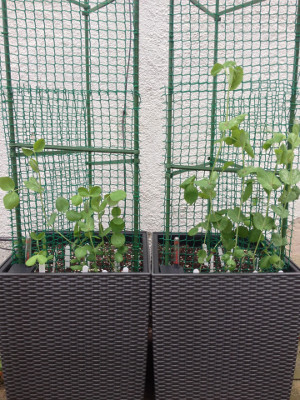 More mangetout seedlings transplanted. Golden Sweet growing on the left, Bijou on the right.