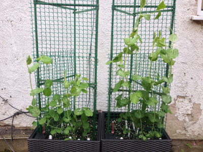 More mangetout seedlings transplanted. Golden Sweet growing on the left, Bijou on the right. Older plants getting bigger, with the windy weather making it difficult to get them to latch on to the trellis.