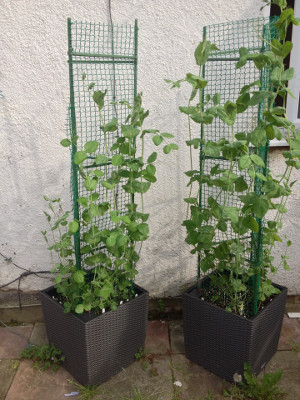 Bijou and Golden Sweet mangetout are growing well. The plant that grew from the first sprouted Bijou seed has reached the top of the trellis. Another Bijou plant suffered basketball damage.