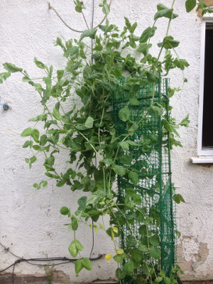 Bijou mangetout plants have so much lateral growth I've had to use the wall to support them.