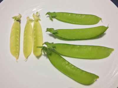 Three Golden Sweet and four Bijou mangetout pods on a white plate.