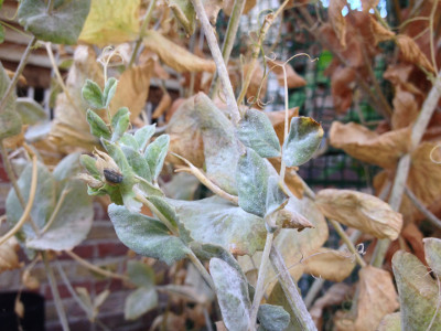 Powdery mildew on some Golden Sweet mangetout plant leaves and stems.