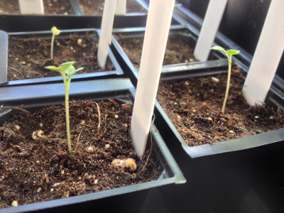 The cotyledons of some late purple sprouting broccoli seeds are growing. One of the early variety has also sprouted (left, second pot from front).