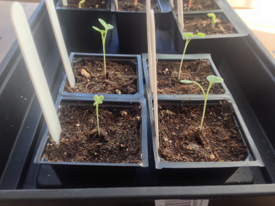 Some late purple sprouting broccoli seedlings are growing. One of the early variety is too (front left).