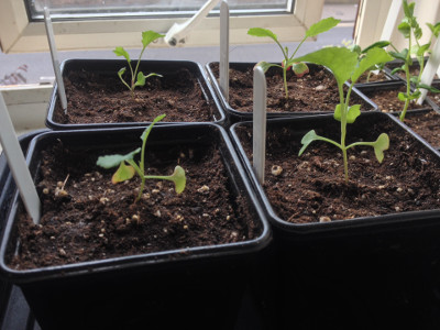 An early purple sprouting broccoli seedling (front left) and three late purple sprouting broccoli seedings potted up.