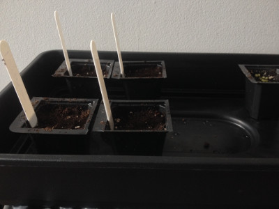 15–20 old salad onion seeds sown in each cell/pot.