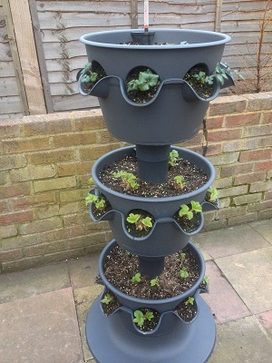 3-tier planter a fortnight after replanting.