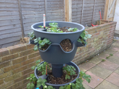 Top tier planter with flowering Flamenco strawberry flowers.
