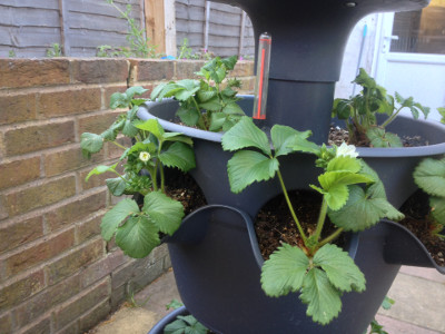 Middle tier planter with Cambridge Favourite strawberry flower buds close to opening.
