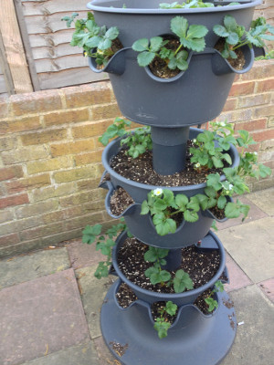 3-tier planter with strawberry plants flowering in top two tiers.