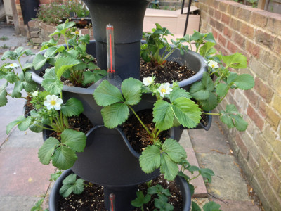 Cambridge Favourite strawberry plants with lots of flower buds and flowers.