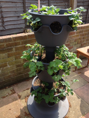 3-tier planter with strawberry plants flowering in top 2 tiers and flower buds in bottom tier.
