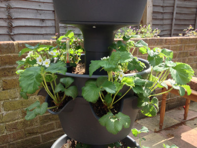 Middle tier planter with flowering Cambridge Favourite strawberry plants.