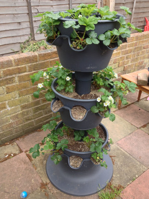 3-tier planter with strawberry plants flowering in all 3 tiers.