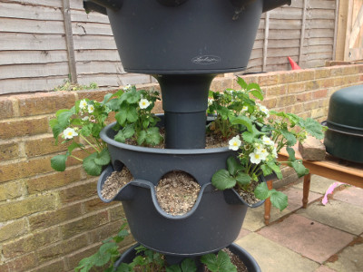 Middle tier planter with flowering and fruiting Cambridge Favourite strawberry plants.