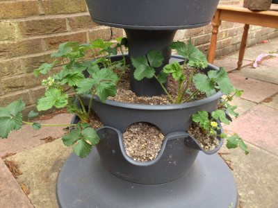 Bottom tier planter with flowering Florence strawberry plants.