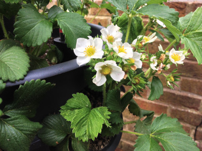 Cambridge Favourite strawberry plant with developing buds, closed flower buds, flowers, pollinated flowers, and developing fruit.