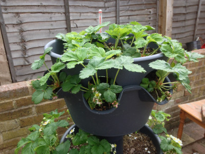 Top tier planter with flowering and fruiting Flamenco strawberry plants.