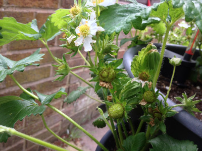 Cambridge Favourite strawberry plant with closed flower buds, flowers, pollinated flowers, developing fruit, and a developing runner/stolon.