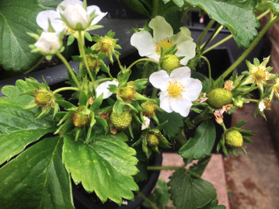 Cambridge Favourite strawberry plant with closed flower buds, flowers, pollinated flowers, and developing fruit.
