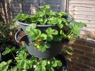 Top tier planter with fruiting Flamenco strawberry plants.