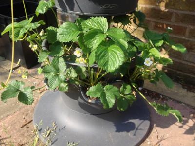 Bottom tier planter with flowering and fruiting Florence strawberry plants.