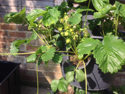 Cambridge Favourite strawberry plants with closed flower buds, flowers, pollinated flowers, developing fruit, and developing runners/stolons.