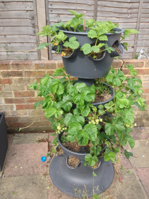 3-tier planter with strawberry plants developing in all 3 tiers.
