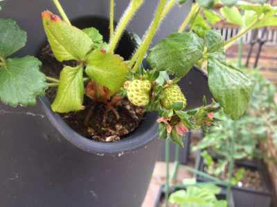 A couple of pollinated Flamenco strawberry flowers and a couple of developing Flamenco strawberries.