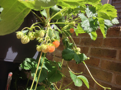 Cambridge Favourite strawberry plants with developing fruit, ripening fruit, and runners/stolons.