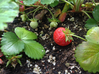 Some developing Flamenco strawberries including one that is almost ripe.
