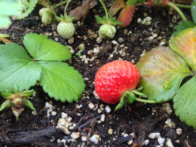 Some developing Flamenco strawberries including one that is close enough to fully ripe. This side of the berry has only been getting light since yesterday - it is a little lighter and some of the seeds are still orange.