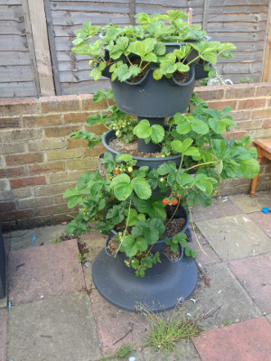 3-tier planter with strawberries developing in all 3 tiers, and with older leaves that turned red or brown removed.