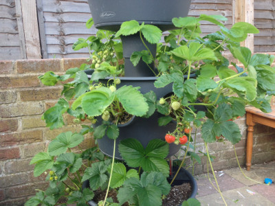 Middle tier with developing and ripening Cambridge Favourite strawberries, a few flowers and pollinated flowers, and some runners/stolons.