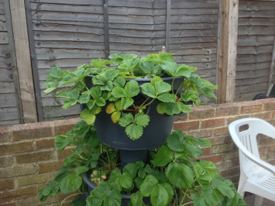 Top tier planter with Flamenco strawberry plants starting to flower for a second time this year.
