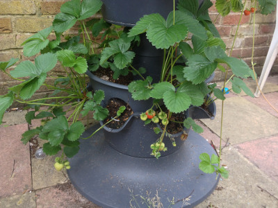 Bottom tier planter with some developing Florence strawberries, and few runners.
