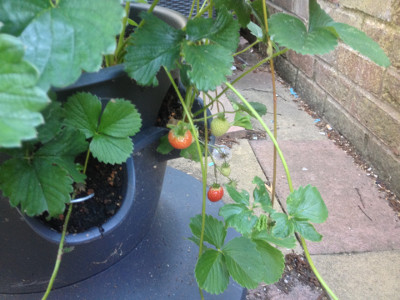 Some of the last Florence strawberries of the year are ripening. Some more runners need pinning into pots.