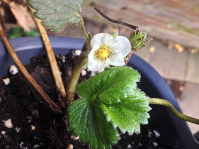 Strawberry flower withering.