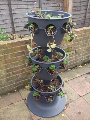 3-tier strawberry planter cleared of leaves and rotated.