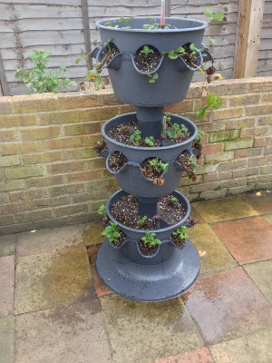 3-tier strawberry planter rotated and plants watered.