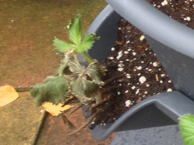 Strawberry plant in bottom planter, day 26.