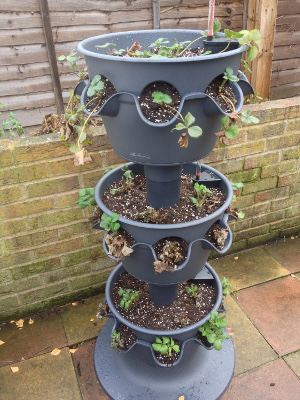 3-tier strawberry planter, day 26.