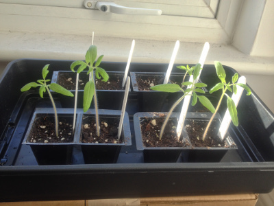 Rose de Berne seedlings need potting up; Still only 1 Irish Gardeners Delight seed has germinated.