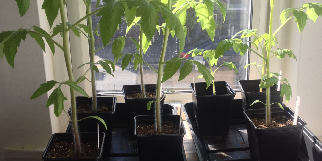Tomato seedlings.