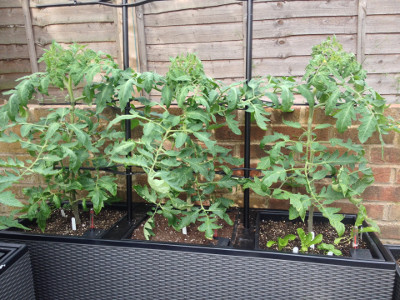 Rose de Berne tomato plants gradually getting bigger, with deveoping flower buds looking a bit diseased.