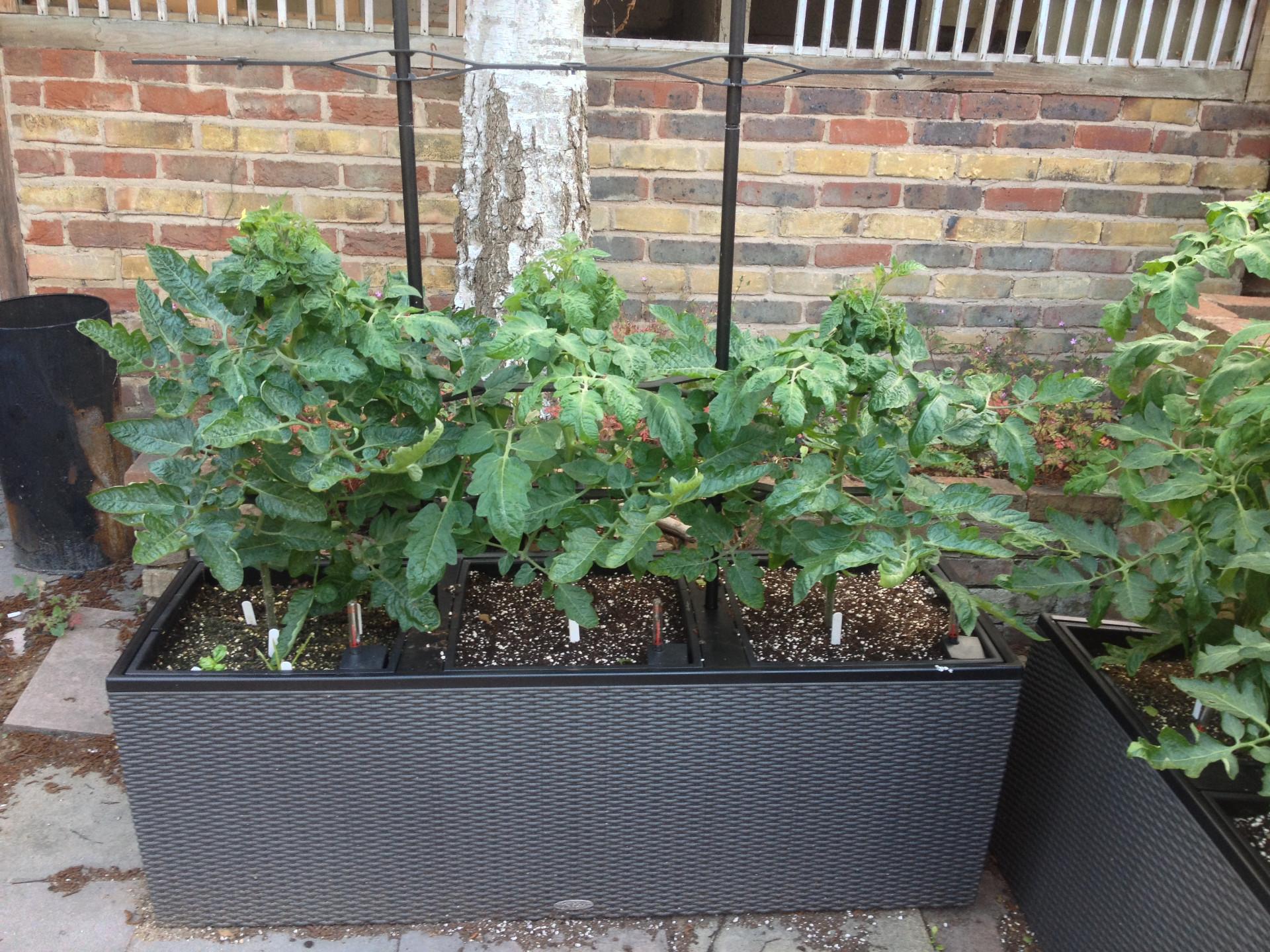 Gardeners Delight Tomato Plants Uk Garden Ftempo